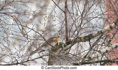 Fieldfare Turdus pilaris sitting on frozen tree branches....
