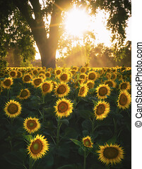 Fields full of sunflowers, five sunflowers in the sunset, sunflower in forest