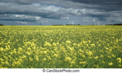 fields full of yellow rapeseed flowers for canola oil...