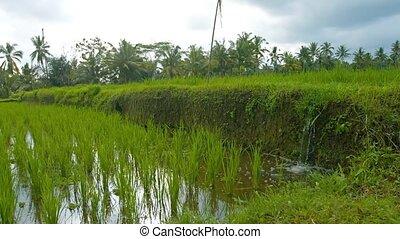 fields., irrigation, vidéo, paddy, son