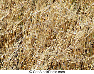 Fields of barley - background