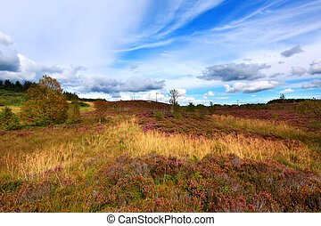 Fields of blooming heather in Scotland