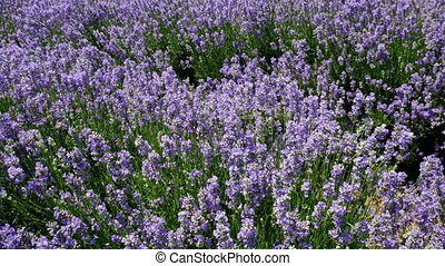 fields of blooming lavender flowers - Fields of blooming...