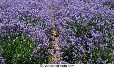 fields of blooming lavender flowers - Fields of blooming...