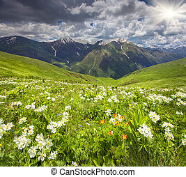 Fields of blossom flowers in the Caucasus mountains. Upper ...