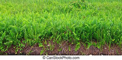 Fields of ferns