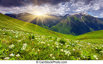 Fields of flowers in the mountains. Georgia, Upper Svaneti,...