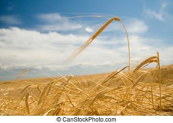 Fields of gold 2 - Freshly swathed ripe barley.