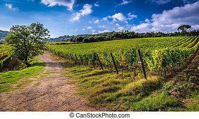 Fields of grapes in Italy