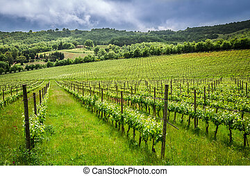 Fields of grapes in the summer, Italy