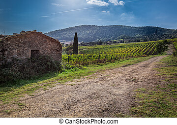 Fields of grapes in the summer, Tuscany, Italy