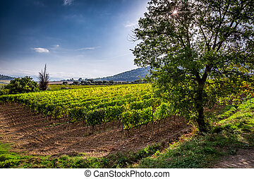 Fields of grapes in the summer, Tuscany