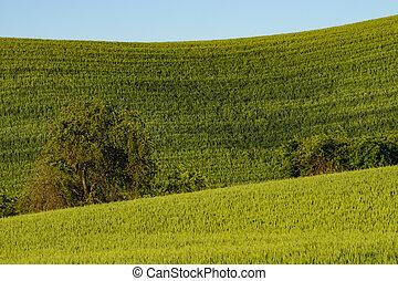 Fields of green wheat in Eastern Washington state - Fields ...