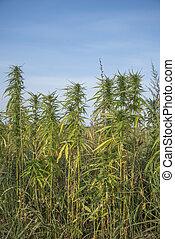 fields of industrial hemp in Estonia. Europe