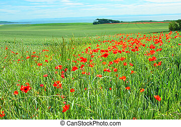 Fields of poppies, Scotland