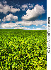 Fields of soybean, in rural Baltimore County, Maryland.