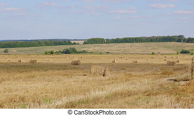 Fields of wheat at the end of summer fully ripe.