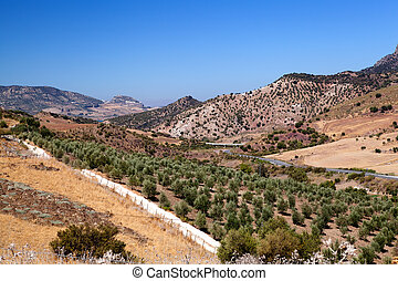 fields with olive trees in Spain