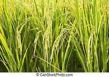 Fields with the rice