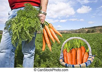 fier, carotte, paysan, cueillette, frais, carottes, dans, sien, panier