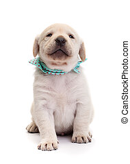 fier, labrador, chiot, chien, tenue, sien, museau, élevé