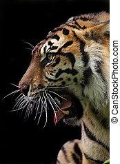 Fierce - Closeup of an aggressive Sumatran Tiger against a...
