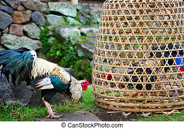 Fierce cock try to fight with rival in bamboo coop