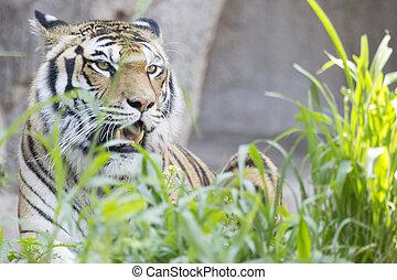 Fierce tiger in the grass
