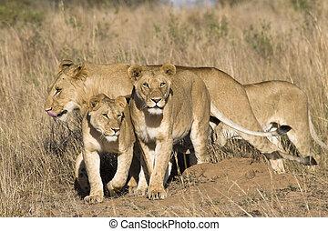 fierté, lions