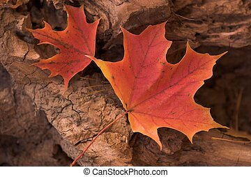 Fiery red Maple - The fiery brilliance of red Maple leaves