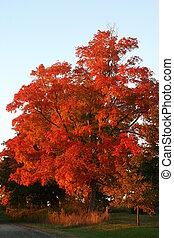 Fiery red Maple tree