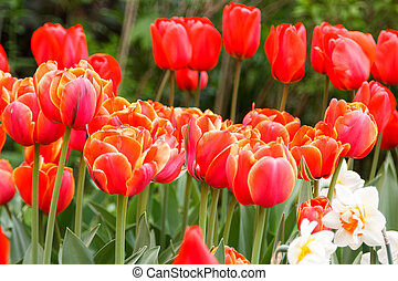 fiery red-orange tulips on blurred background