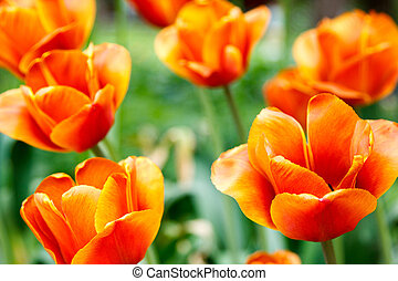 fiery red tulips on blurred background - fiery red tulips on...