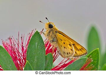 Fiery Skipper butterfly on a bottle brush plant.