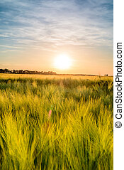 Fiery sunset over a ripening wheat crop