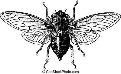Fig 14. Cicada, vintage engraved illustration. Cicada isolated on white. Dictionary of words and things - Larive and Fleury - 1895.