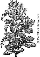 Fig. 173. Berberis or barberries, vintage engraving.