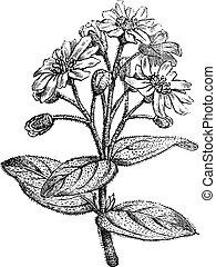 Fig. 181. Boldo or Peumus boldus, vintage engraving. - Fig....