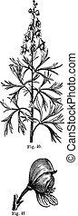 Fig. 40. Aconite. Top of the stem, Fig. 41. Aconite. Whole flower, vintage engraving.
