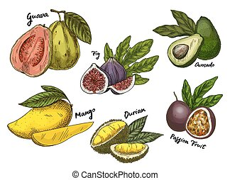 Fig and guava, avocado and mango, maracuya sketches - Set of...