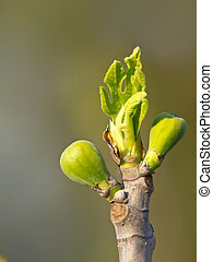 fig bud - branch of fig tree in the spring