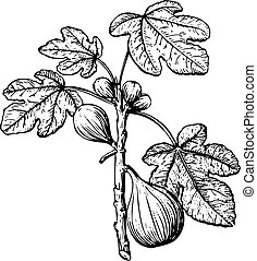 Fig - Branch of fig with leaves