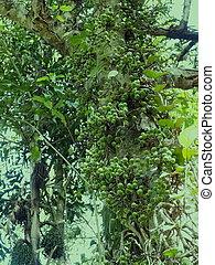 fig fruit on tree.