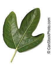 fig leaf on white background