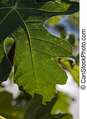 fig leaves in the trees