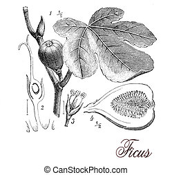 Vintage print describing fig tree botanical morphology: tri-veined leaves, aerial roots, inflorescences (syconium) and edible fruits