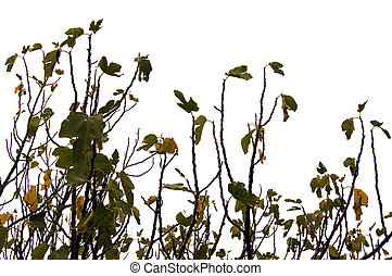 fig tree branches and leaves