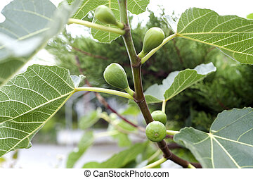 Fig tree - Green fig tree with fruit