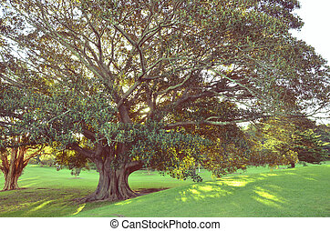 Golden afternoon sunlight shining through the canopy of a majestic Moreton Bay Fig Tree, Centennial Park, Sydney, Australia