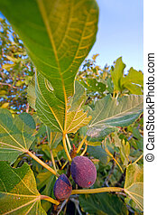 Fig tree
